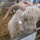 Future developments for the Goat Veterinary Society thumbnail image