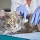 Can gabapentin reduce the stress of cats when visiting the vets? thumbnail image