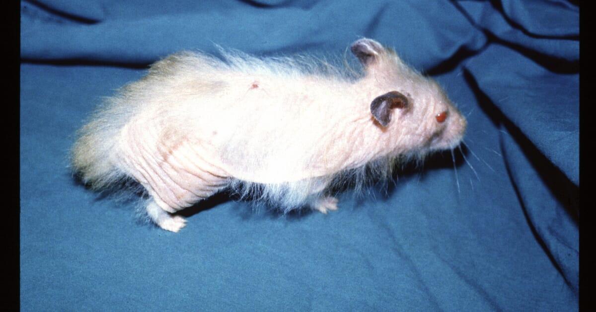Demodicosis In The Hamster Veterinary Practice