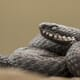 Should dogs bitten by European adders be given antivenom? thumbnail image