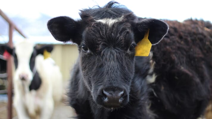 Bitter sweet synch-phony: OvSynch and fixed time artificial insemination in dairy cows thumbnail image