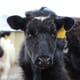Assessing the current state of bovine TB on farms thumbnail image