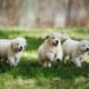 Helping owners prepare for dog breeding, from pre-mating to newborn puppies thumbnail image