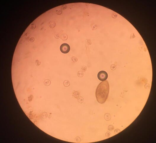 Figure (3) Isospora oocysts and a pinworm egg, identified in a direct faecal smear from a panther chameleon (Furcifer pardalis)