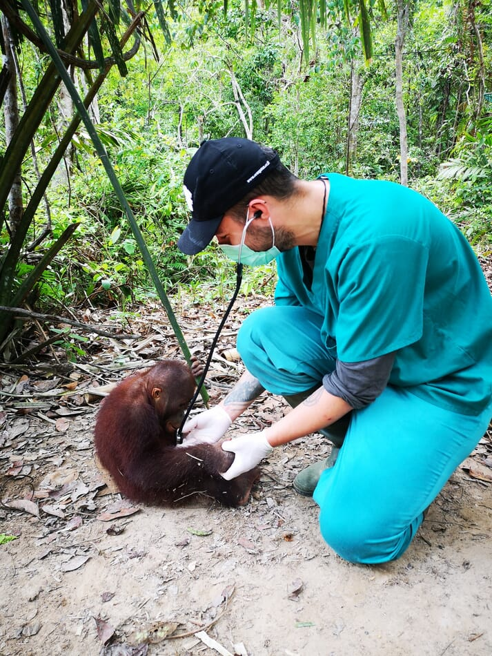 FIGURE (1) Anaesthesia can be required in orangutans living in conservation centres for a variety of reasons, such as health screening. Pictured here is the author performing auscultation as part of a health check for an infant orangutan