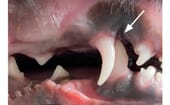 FIGURE (2A) WitSlight mandibular distoclusion (mandibular brachygnathism) with linguoversion of the deciduous mandibular canine teeth in a nine-week-old puppy. Arrows indicate the impingement defects at the palate at the mesiopalatal aspects of the deciduous maxillary canine teeth, both 5mm deep! thumbnail