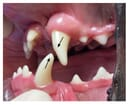 FIGURE (3A) Attrition due to mandibular mesioclusion (mandibular prognathism) which caused contact between the permanent left maxillary and mandibular canine teeth (204 and 304)...