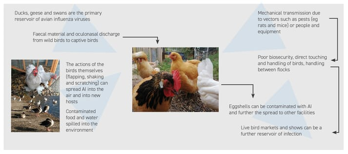 FIGURE (1) Routes of entry of HPAI into backyard birds and how the virus can be easily transmitted between flocks