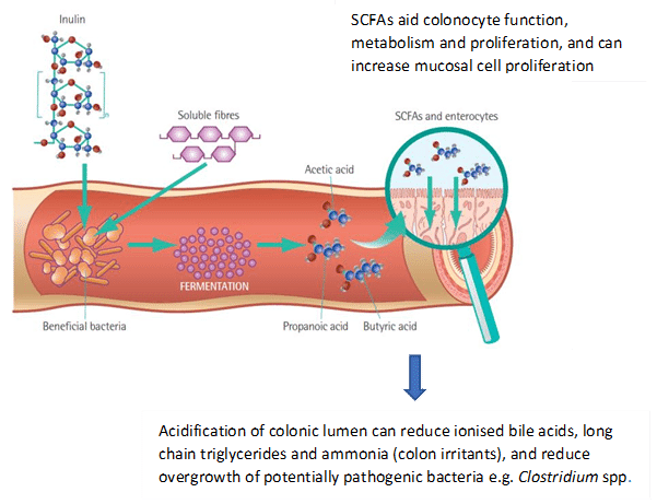"""FIGURE (2) Inulin, beet pulp and oligosaccharides can have prebiotic properties; they are incorporated into some gastrointestinal diets and have demonstrated benefits on digestive health. They stimulate growth of """"beneficial"""" bacteria and are fermented to short-chain fatty acids (SCFAs), an energy source for colonocytes. SCFAs act as energy sources for the host, regulate intestinal motility and provide growth factors for epithelial cells (Laflamme et al., 2012; Suchodolski, 2018; figure adapted from Nestle Purina Scientific Update on Feline Nutrition, 2011)"""