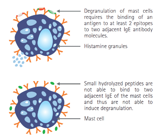 FIGURE (4) Hydrolysation of proteins can prevent degranulation of mast cells and any consequent allergic reaction which could otherwise manifest (Purina Pro Plan Veterinary Product Guide, 2015)