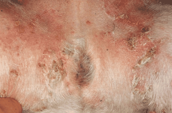 FIGURE 1 Recurrent superficial pyoderma with marked crusting, a few epidermal collarettes and erythema in the glabrous skin of a 10-year-old Jack Russell Terrier. The underlying cause was immunosuppression due to a transitional cell bladder tumour, clinical signs of which appeared after the skin lesions