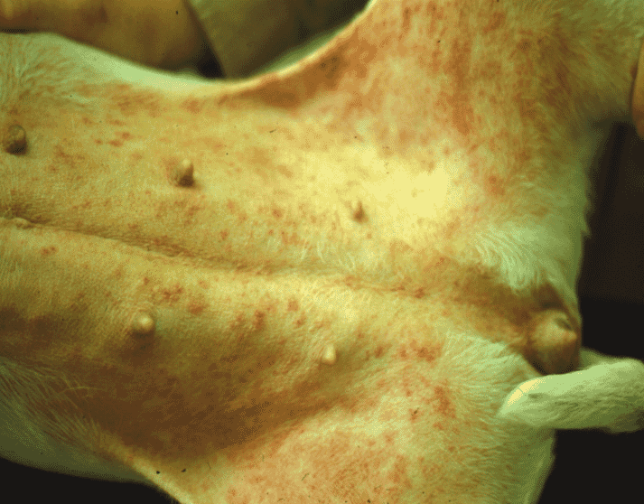 FIGURE 2 Pustules and papules due to recurrent superficial pyoderma in a two-year-old English Bull Terrier. The underlying cause was atopy