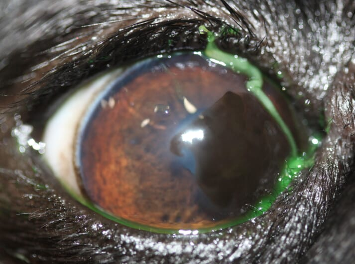 Along with the corneal pigment and medial entropion, there is a large strand of mucus on the medial cornea which is very common in pugs and can be an indication of a qualitative tear film abnormality