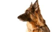 FIGURE (3) German Shepherd Dog thumbnail