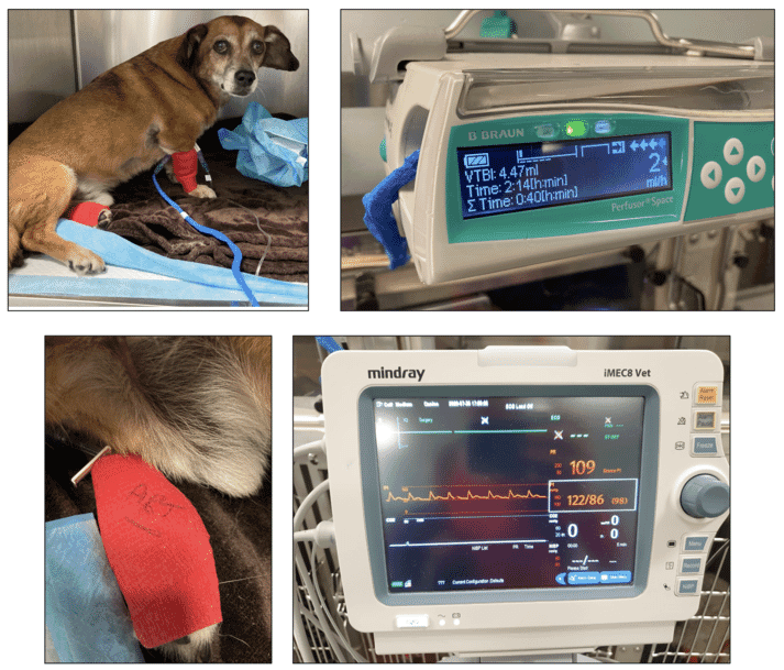 FIGURE (4) Treating a dog with severe CHF using sodium nitroprusside. The infusion must be run using a syringe driver and protected from light. Monitoring blood pressure is essential, both to titrate the dose to effect and to avoid hypotension. Using an indwelling arterial catheter can help to provide a high standard of monitoring, but checking an indirect Doppler measurement every five minutes until the effective dose is reached (to obtain systolic blood pressure 80 to 90mmHg) will suffice