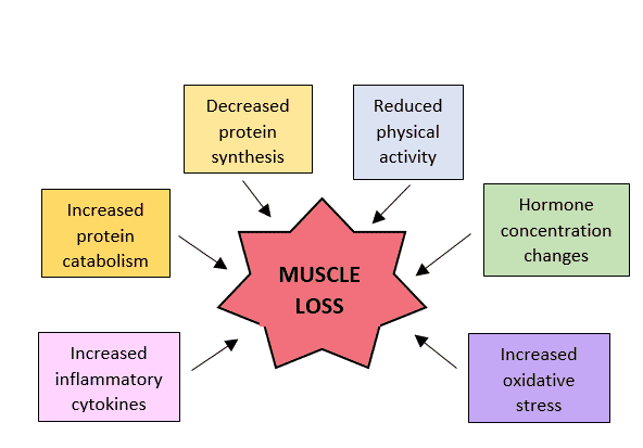 FIGURE 3 Numerous factors influence sarcopenia in humans