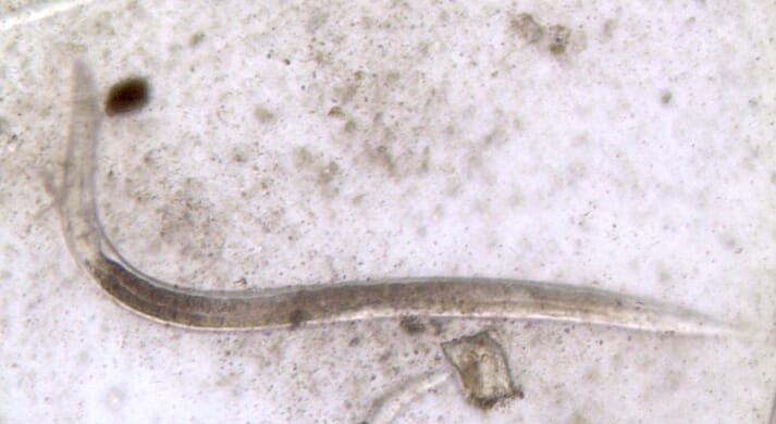 FIGURE (2) A strongyle spp. larva recovered from a donkey faecal culture using the Baermann technique