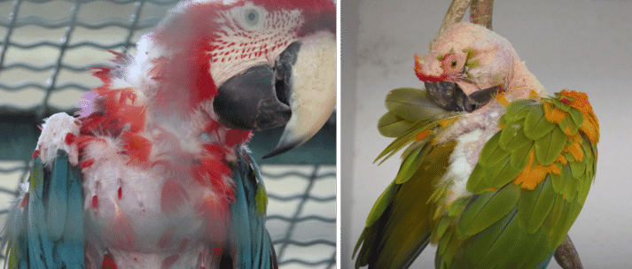 FIGURE (1) Feather-damaging behaviour in parrots is caused by many factors. Birds will pluck their own feathers (as shown in both photos) and cage-mates can also be responsible for feather damage (as indicated by the bald head of the bird on the right)