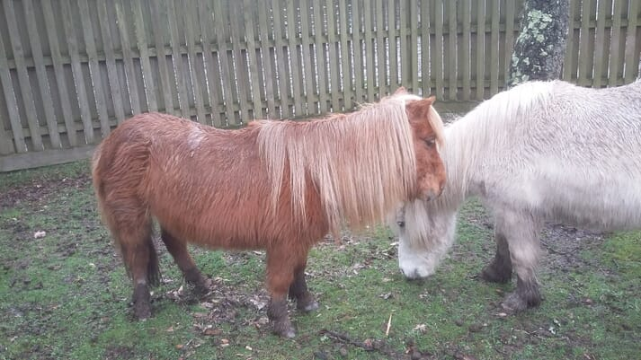 FIGURE (1) Shetland pony geldings with generalised hypertrichosis