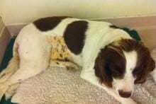 FIGURE (1) Marked jaundice is clearly evident on the ventrum of this English Springer Spaniel