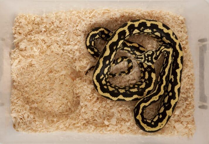 Captive snake