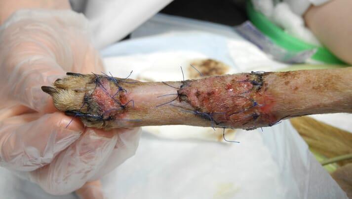 Dog skin graft