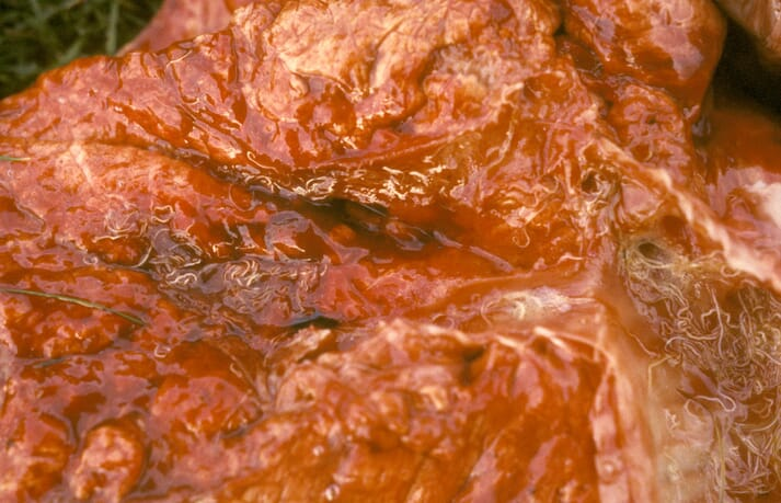 FIGURE 1 Lungworm is the most common cause of clinical signs in farmed deer and can be identified in the airways of red deer lungs