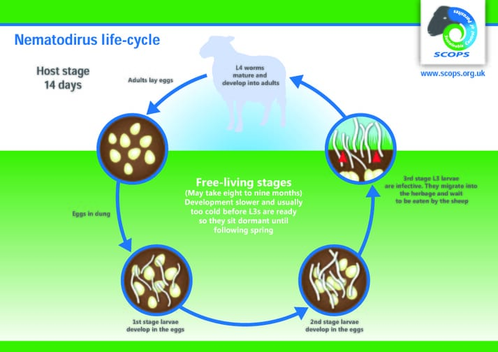FIGURE (1) Nematodirus parasites have a different life-cycle to other sheep worms.