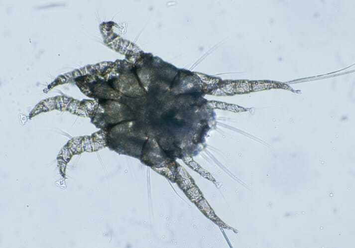 Otodectes cynotis mite