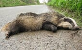 FIGURE (2) Road traffic collisions are a common cause of badger admissions to wildlife rehabilitation centres and veterinary surgeries thumbnail