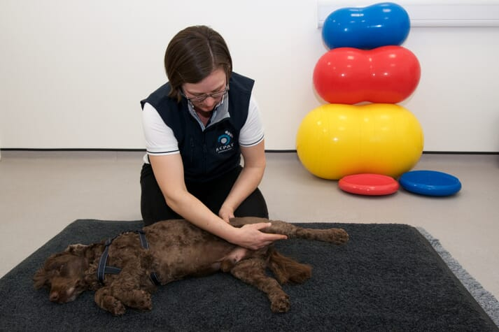 small animal veterinary physiotherapist