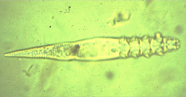 FIGURE (1) Long-bodied Demodex cati
