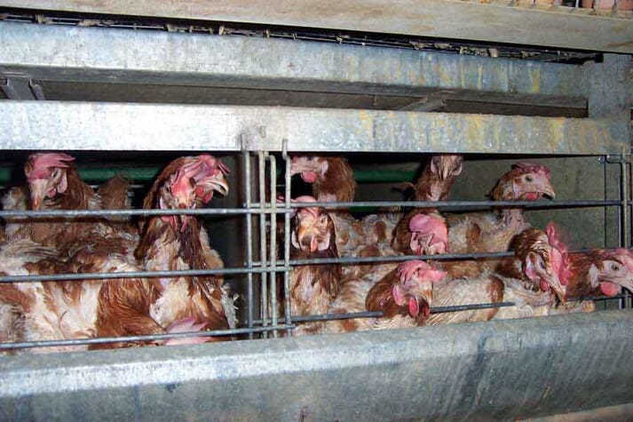 FIGURE (4) Birds confined to suffering and misery in industrial conditions for food