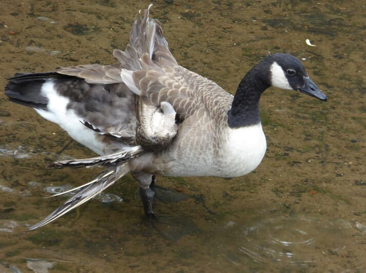 "FIGURE (3) Geese must be fed properly whilst growing to avoid ""angelwing"". Even in free-living individuals, poor nutrition as a gosling can cause irreparable damage to an adult – in this instance severe wing deformity in a feral Canada goose. This bird will not be able to fly and other behaviours (such as preening) will be impeded"