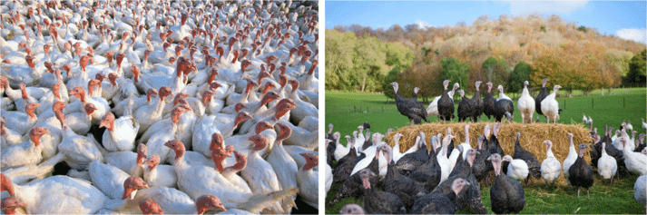 FIGURE (1) Commercial, fast-growing birds on an intensive system (left) compared to heritage breeds using their perching in open grounds on a higher-welfare farm.
