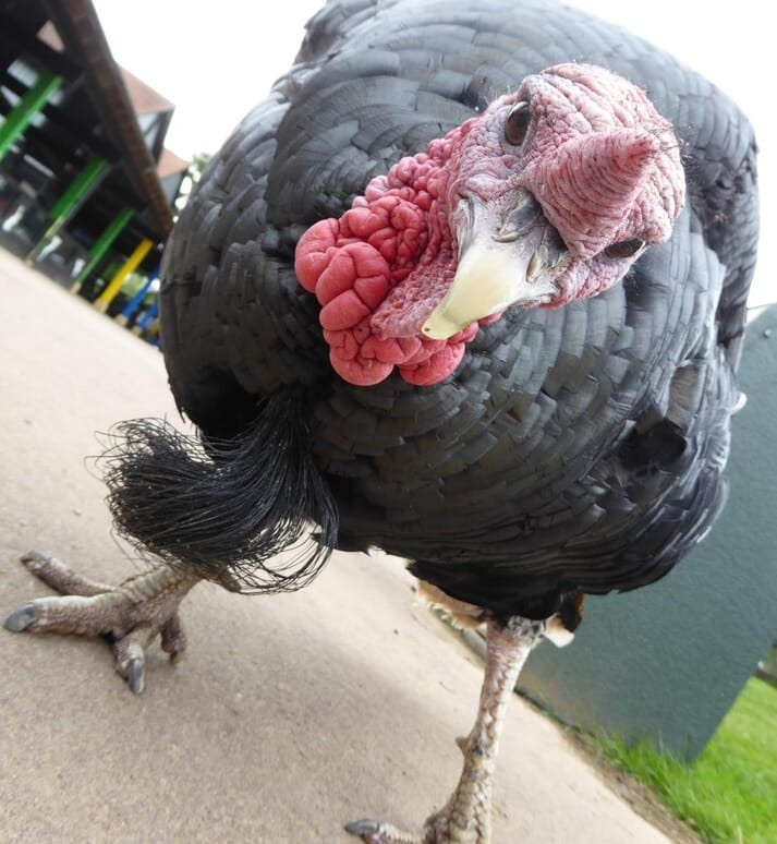 FIGURE (2) Domestic turkeys retain the intelligent, curious nature of their wild ancestor. They are interested in the environment around them and should be kept stimulated to prevent boredom and aggression