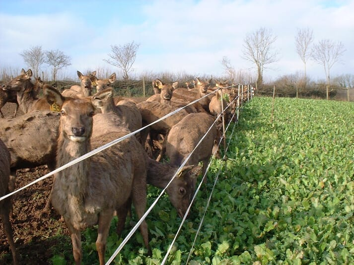 FIGURE 2 Red deer hinds are often strip grazed using a forage crop