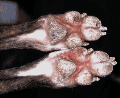 FIGURE 2 Pedal dermatitis in a young greyhound with Uncinaria dermatitis. Pad and interdigital lesions can be seen (image courtesy of the RVC Dermatology Service)