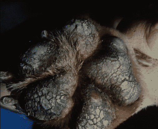 FIGURE 3 Fissures and ulceration in hyperkeratotic pads from a greyhound with chronic Uncinaria dermatitis (image courtesy of Keith Thoday)