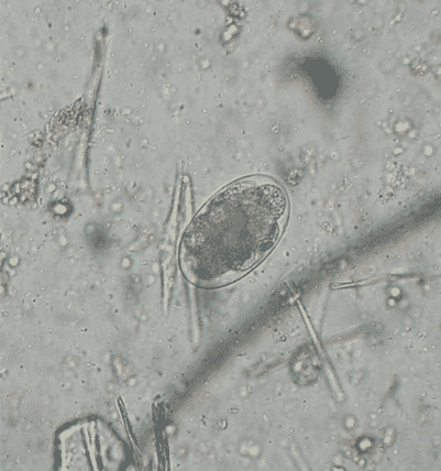 FIGURE 1 Uncinaria eggs are passed in faeces and develop to third stage larvae in the environment (image courtesy of Ian Wright)