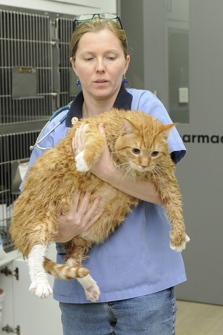 FIGURE 1 Clinics are seeing more overweight and obese cats