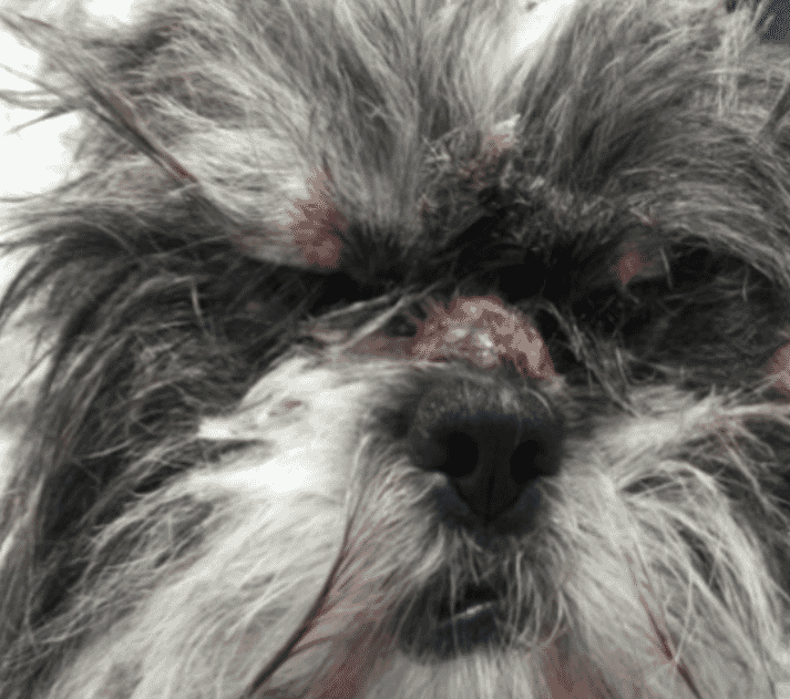 FIGURE 2 Nasal lesions in a young Shih Tzu dog (courtesy of Anita Patel)