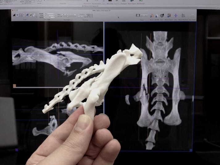 Model of a complex pelvic fracture in a feline patient, with actual multiplanar reconstruction of the CT in the background (images supplied by VetCT: www.vet3d.co.uk)